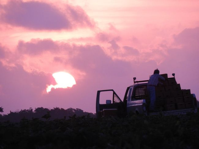 The day begins early on the farm Loading Boxes Sunrise Squash Field Vegetables Truck Farm Life Sky Cloud - Sky Silhouette Nature Beauty In Nature Outdoors Sun Unrecognizable Person