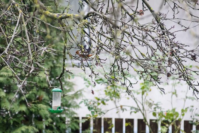 Hawfinch in garden on tree branch near bird feeder Bird In Garden Coccothraustes Coccothraustes Hawfinch Bird Bird Feeder Bird In Winter Bird On Tree Branch Tree Winter Time