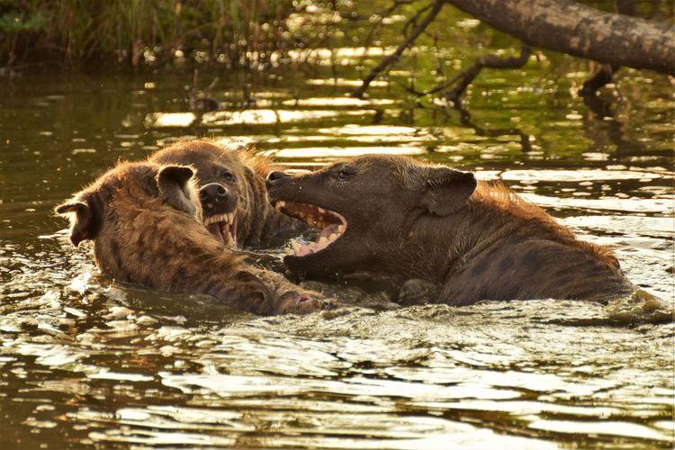 Close-Up Of Hyenas In Lake