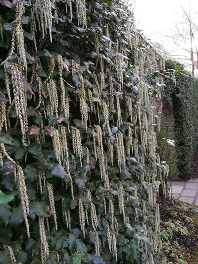 Garrya Elliptica Nature Close-up Outdoors Beauty In Nature Plant