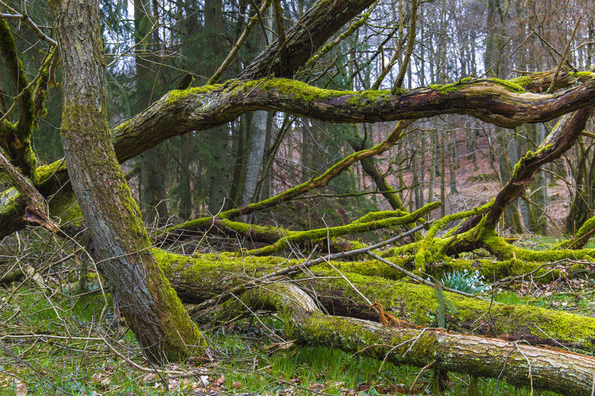 Im Märchenwald Bäume Landschaft Mystic Nature Photography Naturfotografie Beauty In Nature Branch Day Forest Green Color Growth Landschaftsfotografie Moss Natur Nature No People Outdoors Root Scenics Tranquil Scene Tranquility Tree Tree Trunk WoodLand