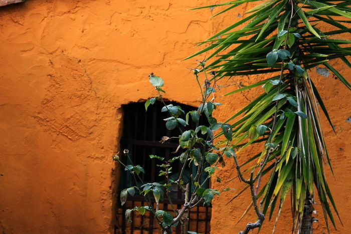 January 2017 Palm Tree Tuscany Building Exterior Castagneto Carducci Close-up Day Italy No People Outdoors Plant Rose Tree Window Yellow Background