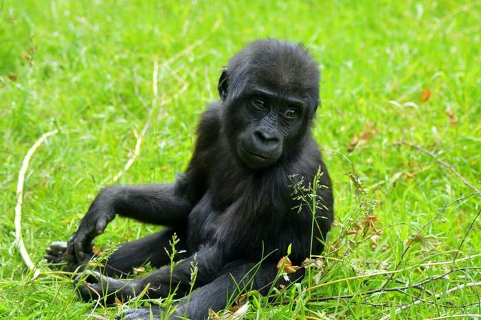 Zoo Tiere Affen Süss First Eyeem Photo Nature Photography Gorilla Gorillas