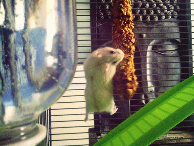 My Hamster Hamster