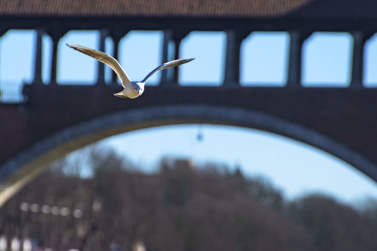 Seagull under the Ponte Coperto (covered bridge), Pavia, Italy Animal Animals Bird Birds Blue Blue Sky Bridge Built Structure Close-up Colours Day Flying Flying Bird Focus On Foreground Nature No People Selective Focus Sky Trees Wings