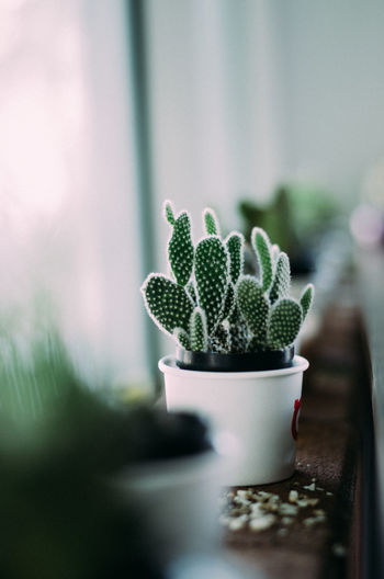 cactus background Green Plant Beauty In Nature Cactus Close-up Cute Day Food Food And Drink Fresh Freshness Green Color Growth Houseplant Indoors  Mini Nature No People Plant Potted Plant Selective Focus Still Life Succulent Plant Table Wellbeing