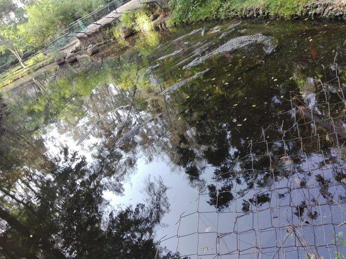 THE CROCODILES IN THE RIVER SWIMMING ..