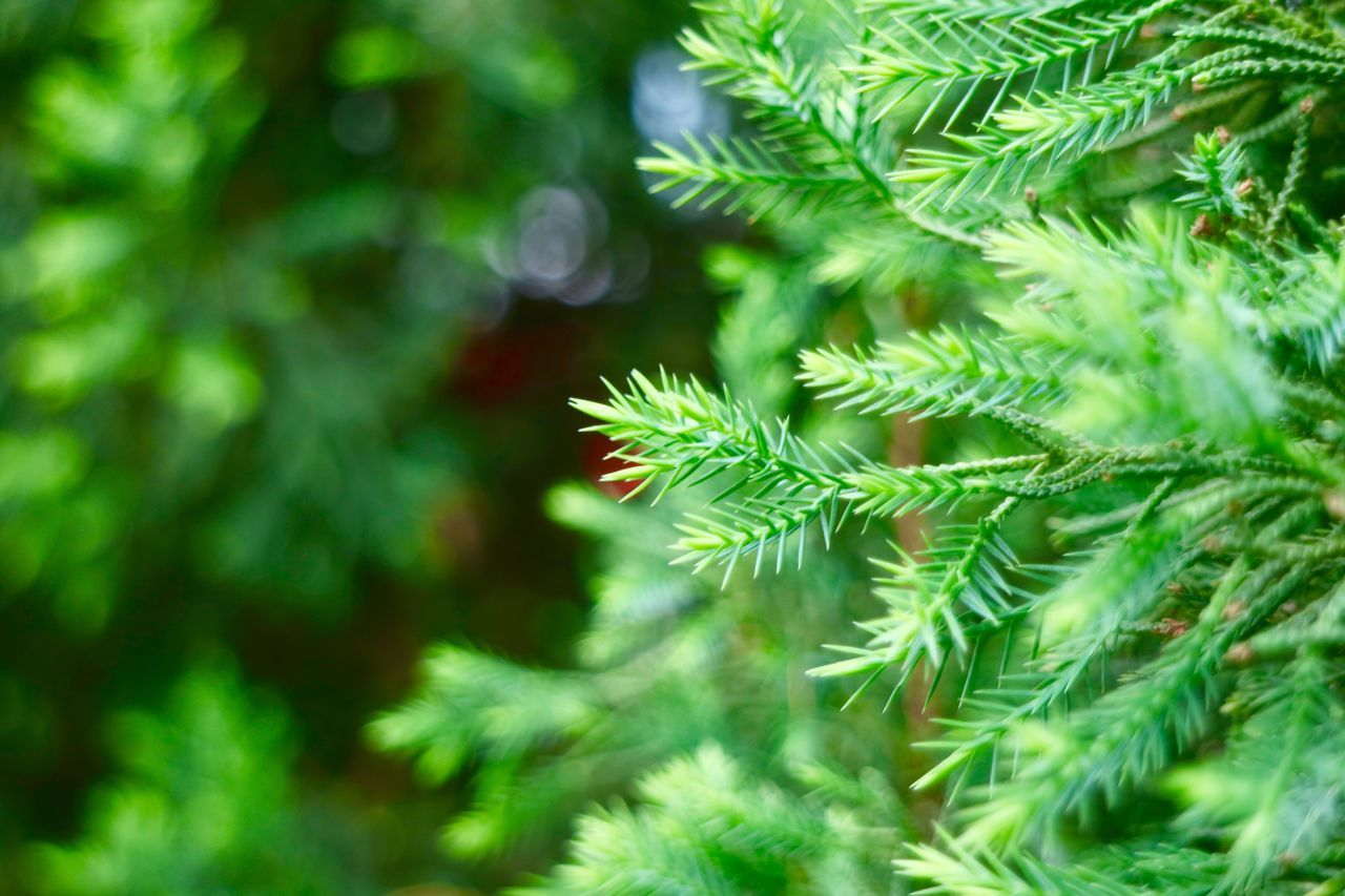 green color, plant, tree, growth, close-up, beauty in nature, plant part, day, leaf, no people, nature, focus on foreground, selective focus, branch, outdoors, pine tree, tranquility, christmas tree, fragility, freshness, coniferous tree, fir tree, leaves