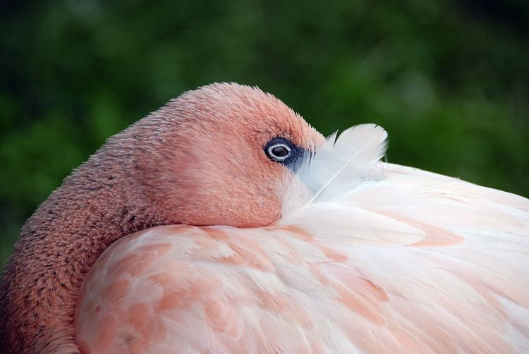Animal Body Part Animal Head  Animal Themes Avian Beak Beauty In Nature Bird Bird Of Prey Close-up Day Feather  Flamingo Focus On Foreground Nature No People Outdoors Pink Flamingos Portrait Selective Focus White White Color The Great Outdoors - 2018 EyeEm Awards