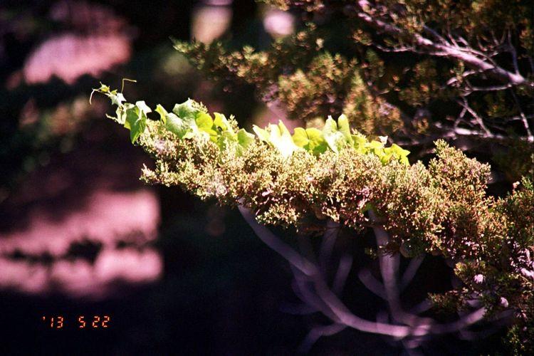 2013 Carmel Highlands Date Stamp Growth Nature Film Olympus Koduckgirl Bokehlicious
