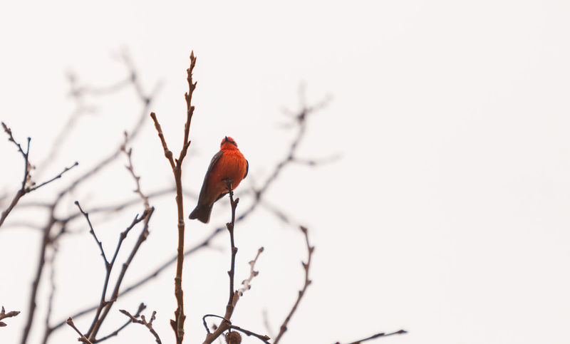 A male vermilion flycatcher bird, Pyrocephalus rubinus, perches in a tree at the San Joaquin marsh and wildlife sanctuary, Southern California, United States Bird Day Flycatcher Nature No People Outdoors Pyrocephalus Rubinus Red Red Bird Sky Tree Vermilion Vermilion Flycatcher Wildbird
