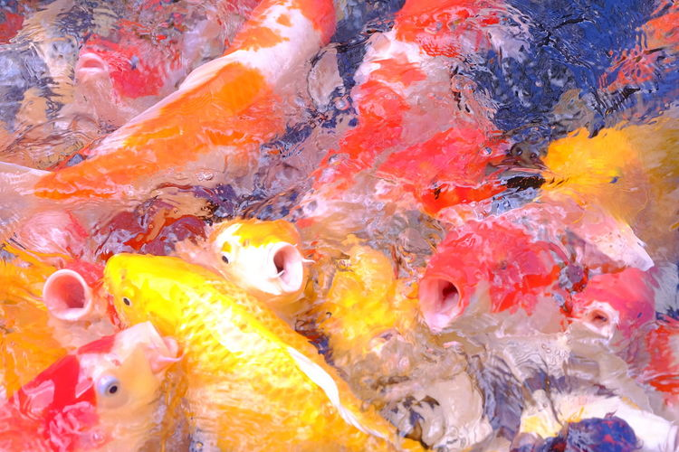 Close-up high angle view of koi carps swimming in pond