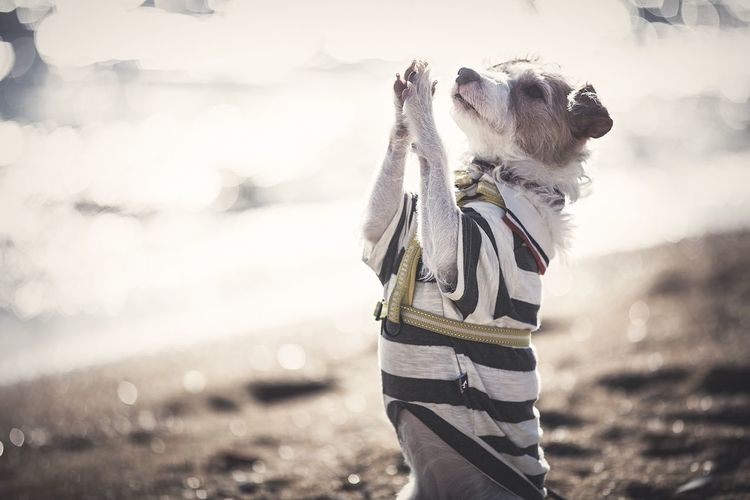 Standing One Animal Outdoors Day Domestic Animals Pets One Person Dog Mammal Nature Jackrussell Jackrussellterrier Kinoko Pray Prayer Beach Shore Sands Wavelets Sunlight Underthesun Sunshine EyeEm Best Shots EyeEmBestPics EyeEm Best Edits