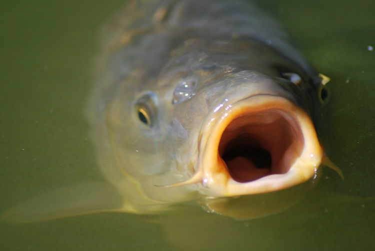 Close-Up Of Fish With Mouth Open