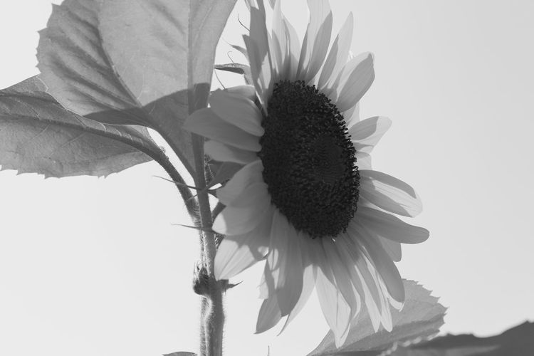Sunflower Bnw Bnw_collection Bnwphotography Sunflowers🌻 Sunflowers Sunflowerlovers Sunflower, Blossoms, Flower, Bloom