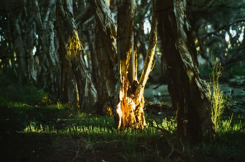 Last light Woodlands Magic Hour Tree Nature Tree Trunk Forest Grass No People Outdoors Growth Day Beauty In Nature Illuminated Forest Fire Close-up