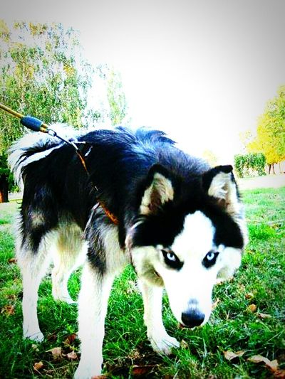 Siberian Husky! Outdoor Photography Popular Photos Photooftheday Smederevo Serbia Made By Me Love To Take Photos ❤ Love❤ Dogoftheday Dog Love Dogwalk Siberian Husky Siberiandog