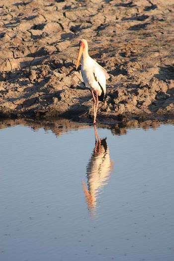 Mirror mirror..... EyeEm Selects Bird Animal Animal Themes Animal Wildlife Vertebrate Water Animals In The Wild Reflection Nature No People Full Length Stork Outdoors Lake