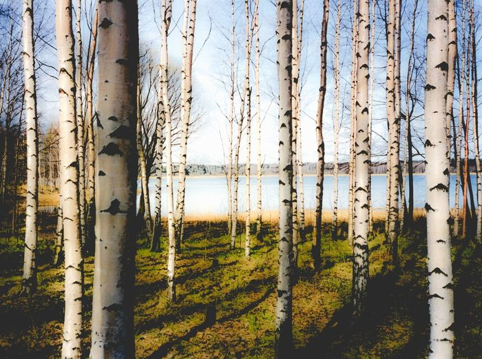 Birch trees in Finnish forest by a lake Birch Birch Tree Birch Trees Birk Birken Finland Finnish  Forest Lake Nature Nature No People Outdoors Pond Sky Suomi Tranquility Tree Trunk Wood