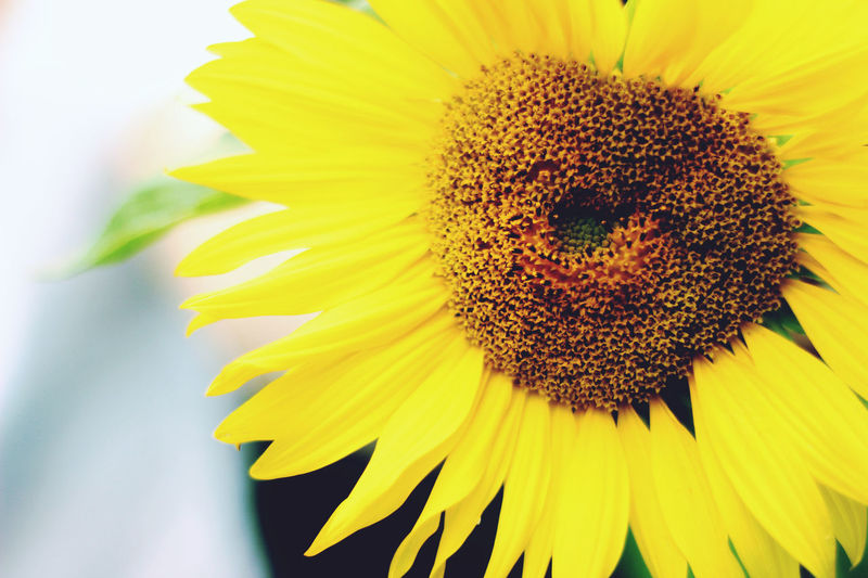 Beautiful Nature Landscape_Collection Rural Yellow Flower Yellow Leaves Beauty In Nature Beauty In Nature Blossom Close-up Day Flower Flower Head Fragility Freshness Growth Landscape Nature No People Outdoors Petal Rural Scene Springtime Sunflower Yellow Yellow Petals