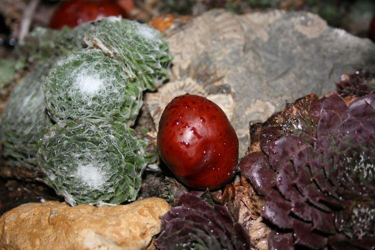 Chestnut Kaktus