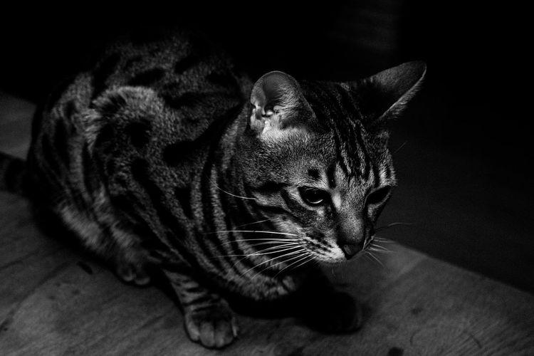 Bengal Cat Blackandwhite Cat Domestic Animals Domestic Cat Portrait