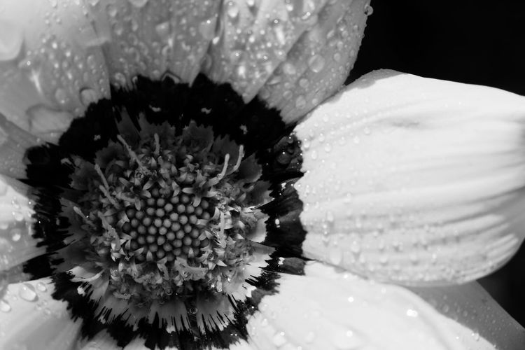 Flower Petal Fragility Flower Head Freshness Beauty In Nature Growth Pollen Close-up Blooming Flower Collection Flowers Garden Plant Plant Water Droplets Extreme Close-up Growth Beauty In Nature Freshness Black And White Black & White Black And White Daisy Black And White Flowers Daisy Black And White Flower Black And White