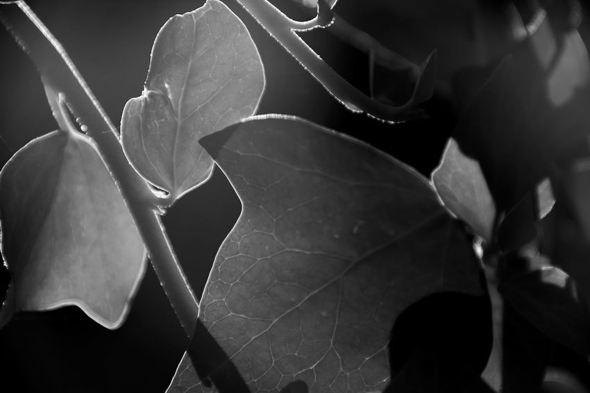 la vida escondida Backlight Beauty In Nature Blackandwhite Contraluz Contrast Eye4photography  EyeEm Gallery Fragility Freshness Growth Hiedra Hoja Light And Shadow My Point Of View Nature Plant Sheet