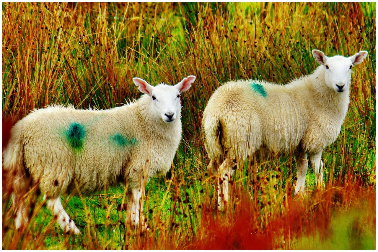 Two Sheep In Grass