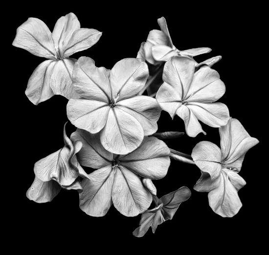 Blue Plumbago Flower Blossom Bloom Floral Black & White Sharons_snapshots