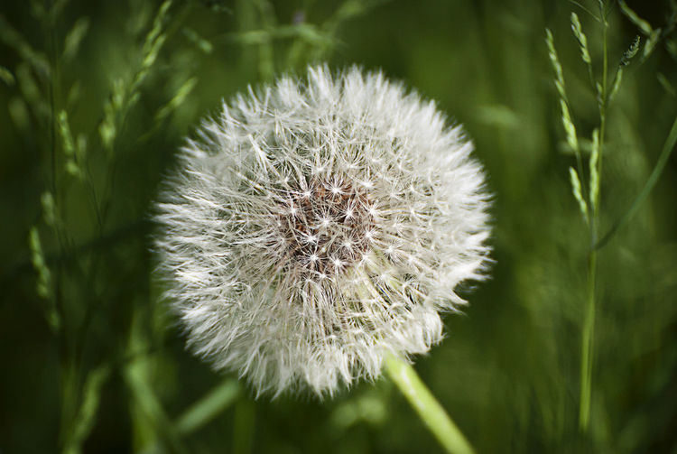 dandelion fruit in green field, close up Beauty In Nature Blowball Close-up Dandelion Day Detail Field Flower Flower Head Fragility Freshness Growth Meadow Nature No People Outdoors Plant Plant Soft Softness Taraxacum Officinale Wildflower