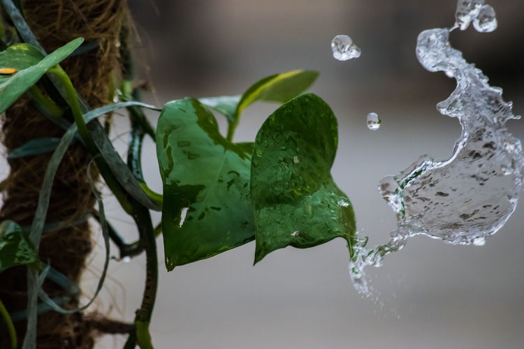 Water Splash with timing. #leafs #water Water Nature Drop Leaf Close-up Green Color Plant Part No People Focus On Foreground Plant Outdoors Motion Growth Freshness Splashing Day Wet Purity Beauty In Nature RainDrop