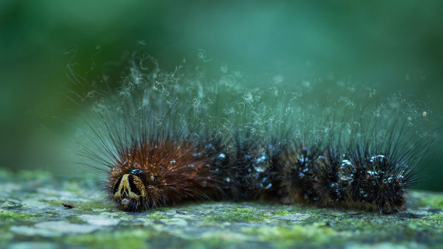 Close up macro of the face and body of a Hairy Gypsy Moth Caterpillar. Animal Themes Animal Wildlife Animals In The Wild Beauty In Nature Caterpillar Close Up Dangerous Day Detail Do Not TOUCH Gypsy Moth Hairs Hairy  Hedgehog Macro Nature Nature No People Outdoors Poisonous Sea Life Water Drop Wildlife