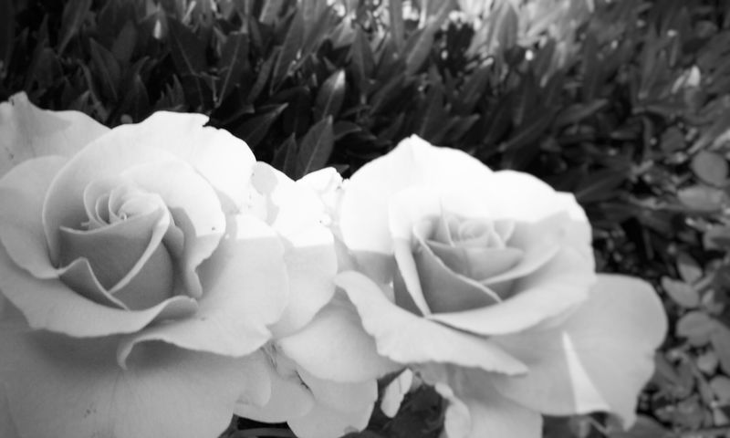 Pink Roses Flowers Love Walking Around With Him❤ Beautiful