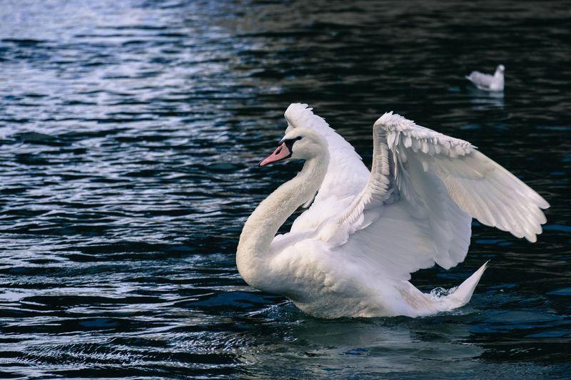 Mute Swan Swimming In Lake