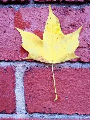 Leaf Autumn Dry Change Outdoors Day Maple Leaf No People Close-up Nature Maple Yellow Fragility
