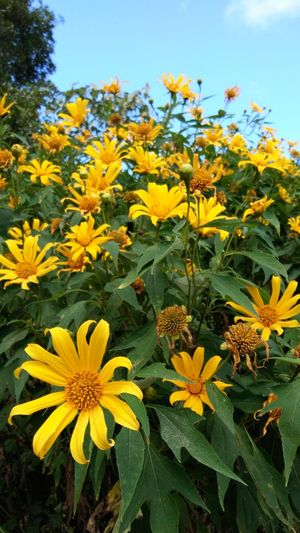 Flower Yellow Plant Blooming Beauty In Nature Day Nature Buatong Sunflowers🌻 Thailand🇹🇭 Mae Salong Chiang Rai, Thailand Trail Running MST2017