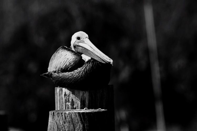 Pelican sitting