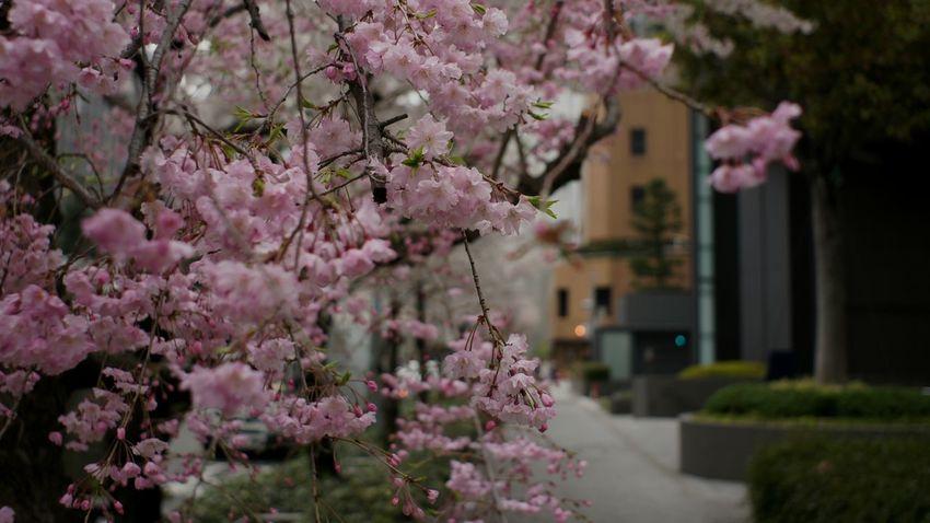 Flower Pink Color Tree Springtime In Bloom Blossom Day Flower Head Takumar 28mm F3.5 Rainy Rain Outdoors City Tree Growth