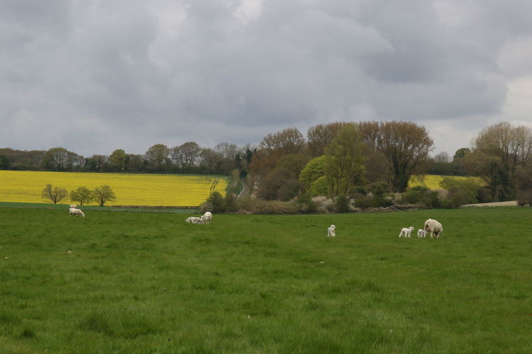 Animal Themes Beauty In Nature Cloud - Sky Day Farm Animal Field Flock Of Sheep Grass Grazing Green Color Hampshire Country Fair Landscape Large Group Of Animals Livestock Nature No People Pasture Rural Scene Scenic Sheep Sky Tranquil Scene Yellow Field
