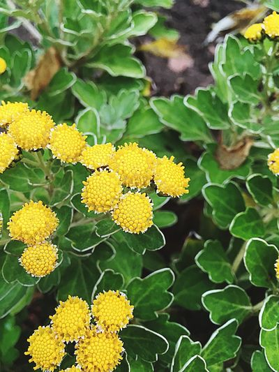 Flower Yellow Growth Leaf Freshness Plant Fragility Beauty In Nature Green Color Petal Flower Head Nature Outdoors Day No People Blooming Close-up Lantana Camara