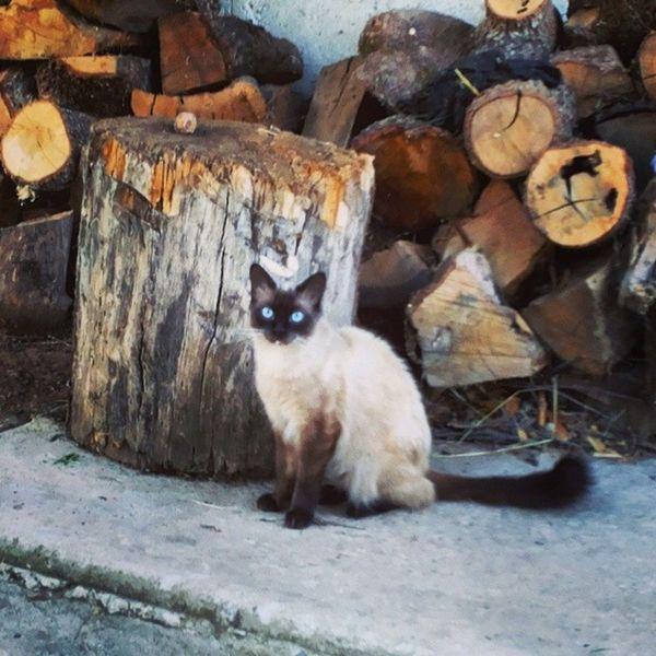 Patata Lovemycat White Black blueeyes