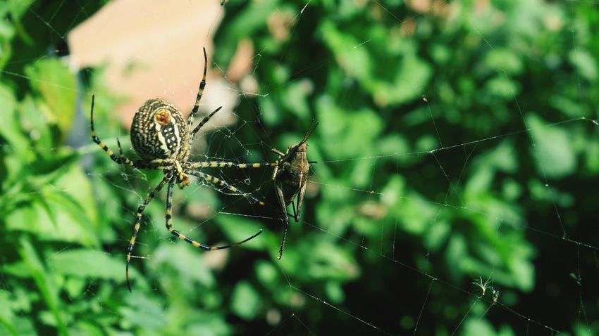 Spider Spider Web Insect Animals In The Wild Nature Animal Wildlife Survival Wildlife Web Grasshopper Crickets