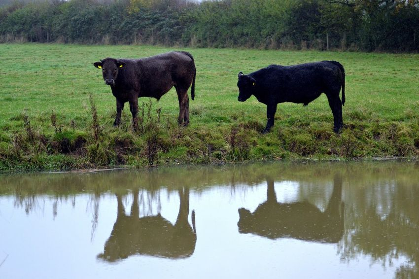 Going for a drink. Farming Life Cattle Bovine Cows Cows In A Field Reflection Animals In The Wild Animal Wildlife No People Animal Themes Outdoors Nature Day Mammal Water Full Length Grass Tree