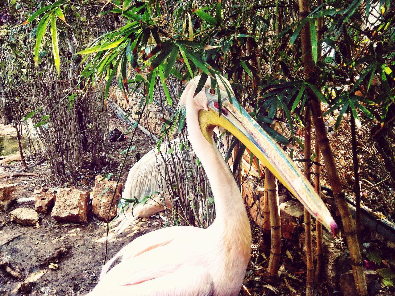 animal themes, bird, animals in the wild, animal wildlife, nature, one animal, day, beak, no people, outdoors, tree, swan, close-up