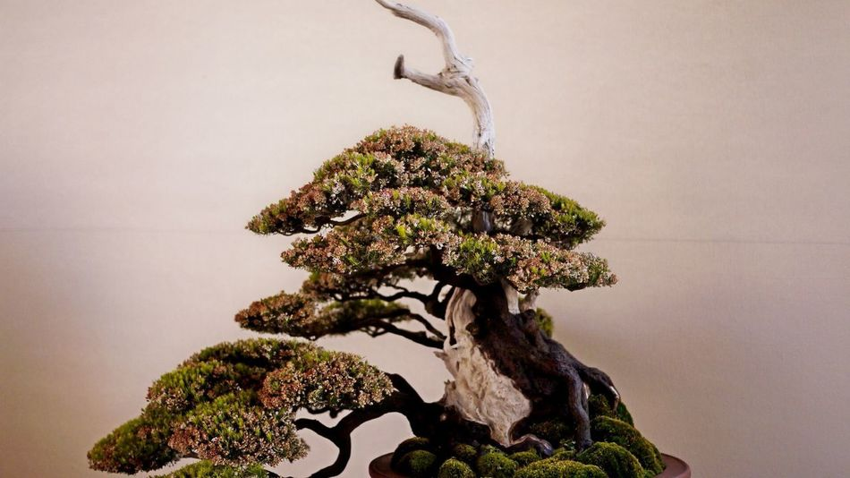 Bonzai Beauty In Nature Bonsai Tree Close-up Day Flower Fragility Freshness Growth Indoors  Nature No People Plant Studio Shot Tree