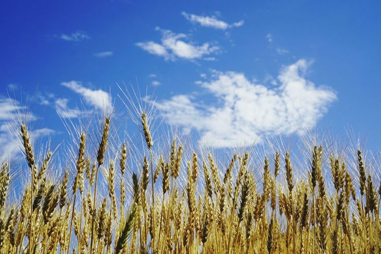 青空と小麦 Sky