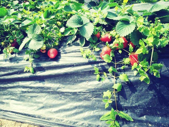 草苺 Yummy HongKong Strawberry