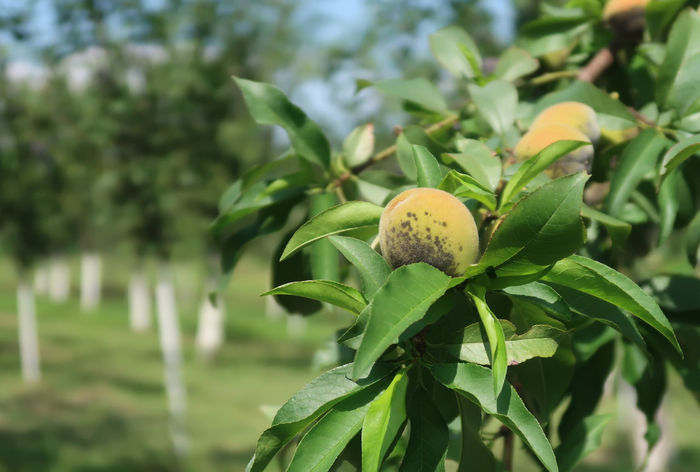 Peaches in a tree Gardening Close-up Closeup Food Food And Drink Freshness Fruit Fruit Tree Fruits Garden Green Color Growth Leaf Nature No People Organic Organic Food Outdoors Peach Peaches Peaches🍑 Plant Plant Part Tree Wild Peach