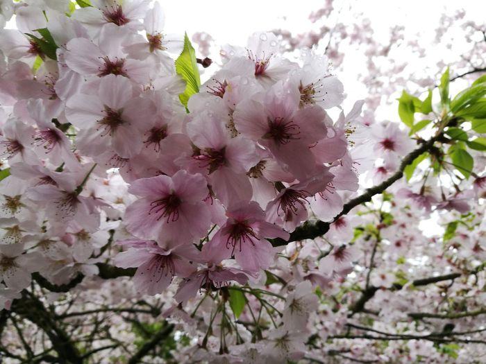 Sakura Nature